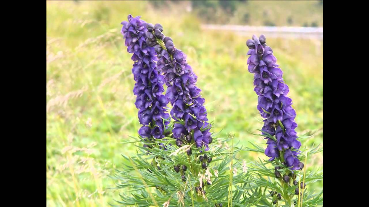 aconitum-napellus-homeopatia-costa-rica